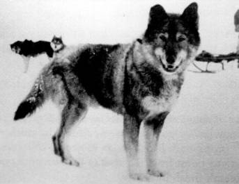 Togo, Leonhard Seppala's Lead Dog during the 1925 Nome Serum Run